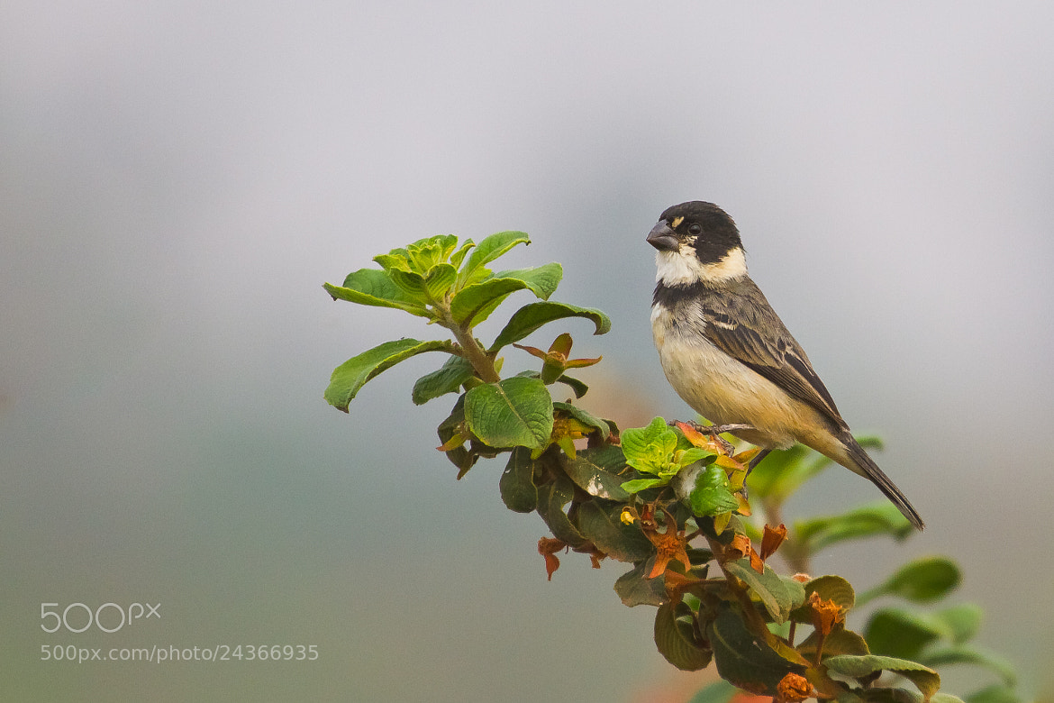 Photograph Rusty-collared Seedeater (Sporophila collaris) by Bertrando Campos on 500px