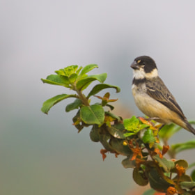 Rusty-collared Seedeater (Sporophila collaris) by Bertrando Campos (BertrandoCampos)) on 500px.com