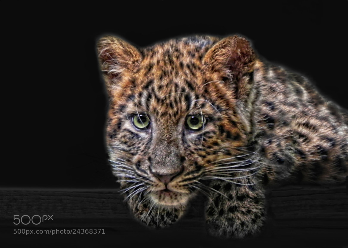 Photograph leopard kitten by Joachim G.  Pinkawa on 500px