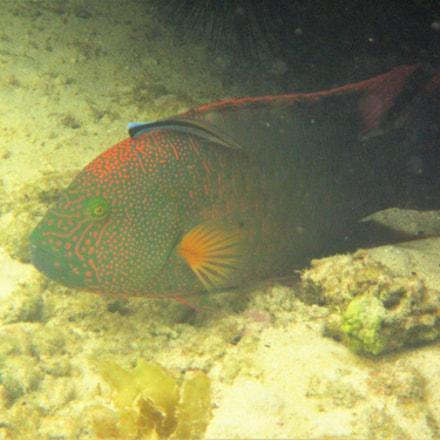 Trigger fish, Canon POWERSHOT D30