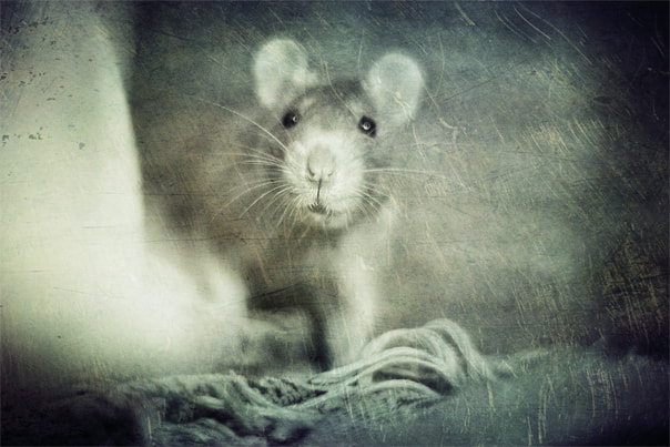 Photograph rat by Firko :) on 500px