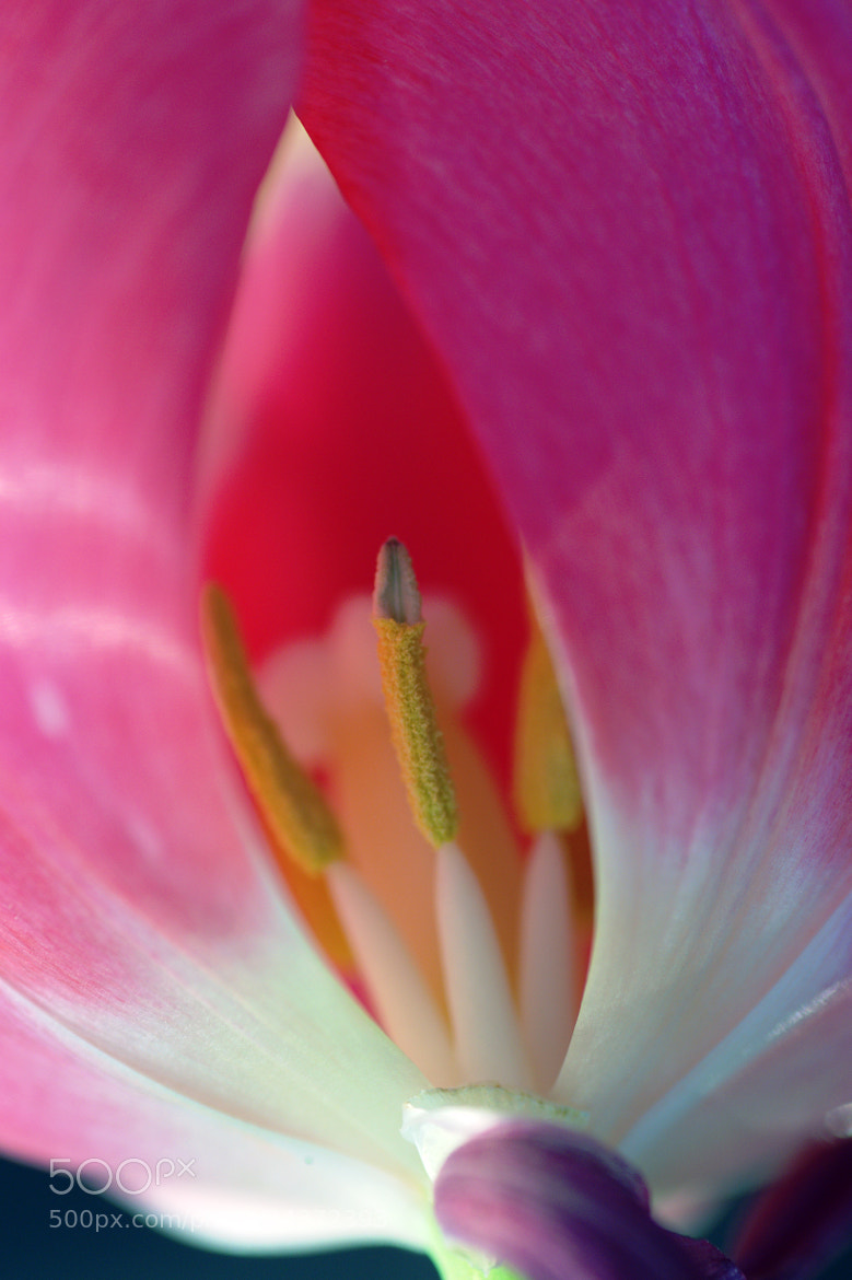 Photograph Tulip by Tim  Taylor on 500px