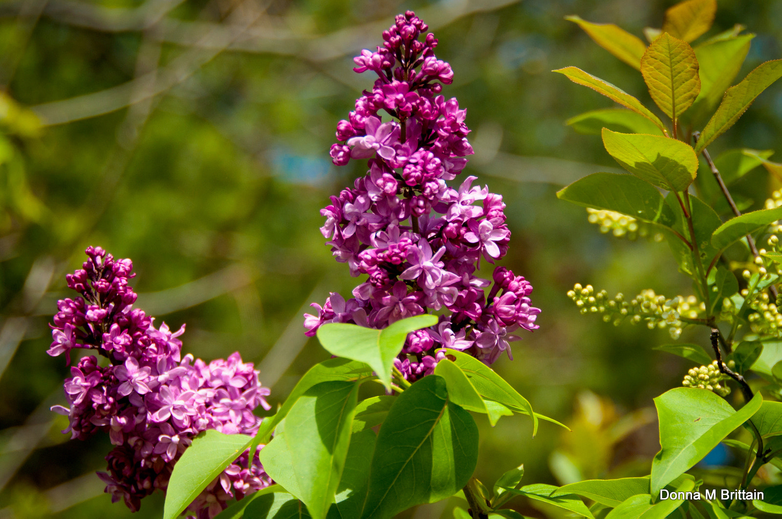 Photograph Wild Lilacs by Donna Brittain on 500px