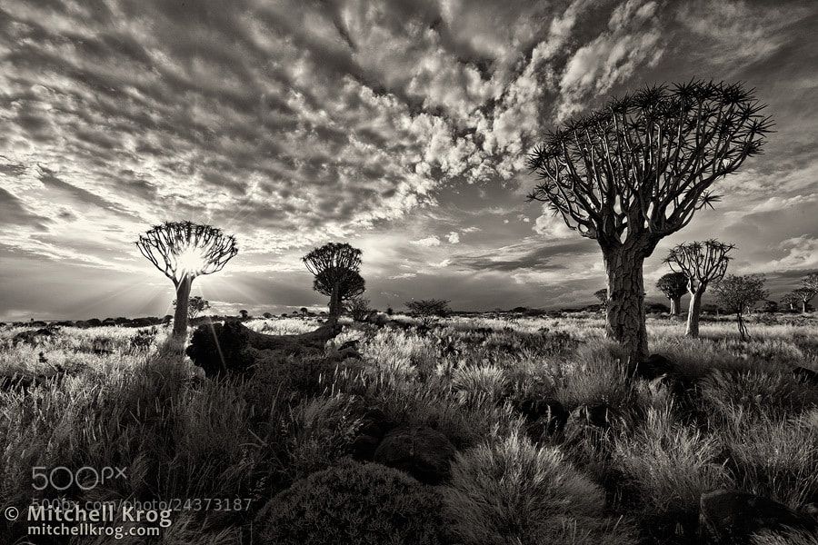 Photograph Quiver Tree Forest | Namibia by Mitchell Krog on 500px