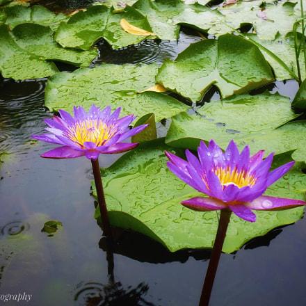 Water lilies, Panasonic DMC-XS1