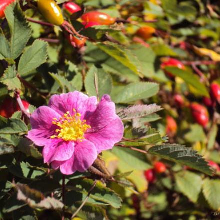 Rose. Last flower, Sony DSC-W190