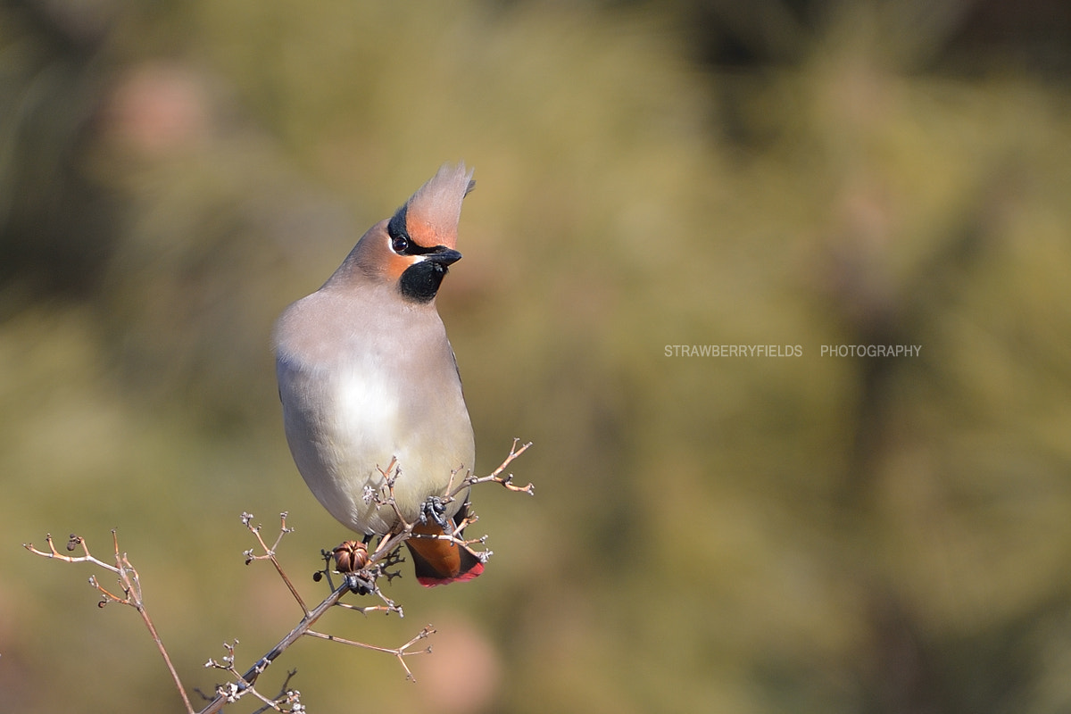 Photograph Japanese Waxwing by Jung-Rae Cho on 500px