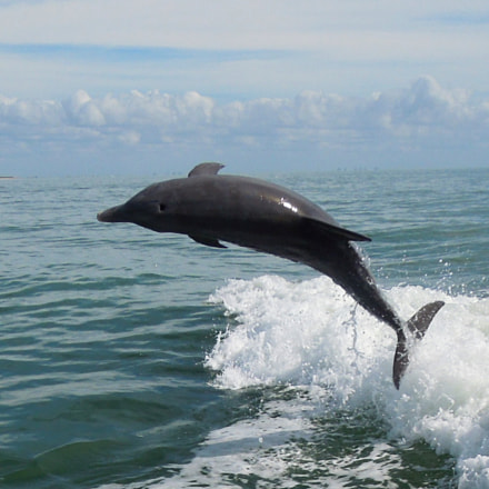 Native Bottlenose Dolphin Showing, Nikon COOLPIX S8200