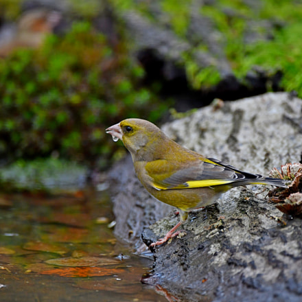 Greenfinch, Nikon D500