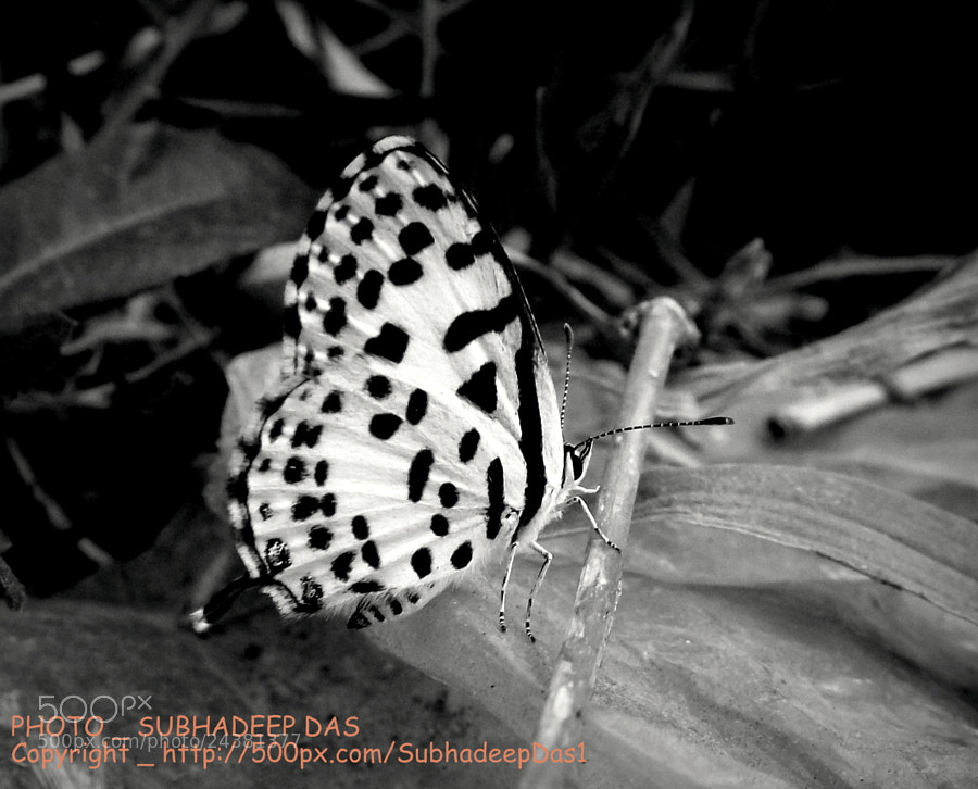 Photograph common pierrot  b&w  by SUBHA   on 500px