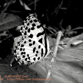 common pierrot  b&w  by SUBHA   (SubhadeepDas1)) on 500px.com