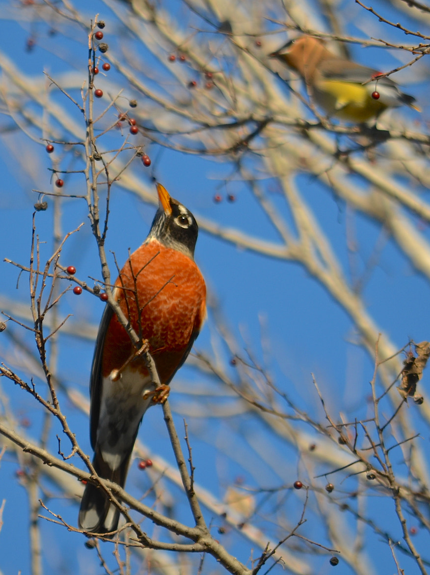 Photograph American Robin Eating Berries by Steven Bach on 500px