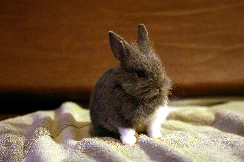 brown dwarf baby rabbits - photo #3