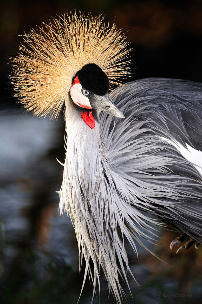 Photograph Crested Crane by Andy  Wellings on 500px