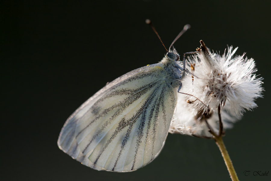 Photograph Cabbage White Butterfly by Tobias Kuhl on 500px