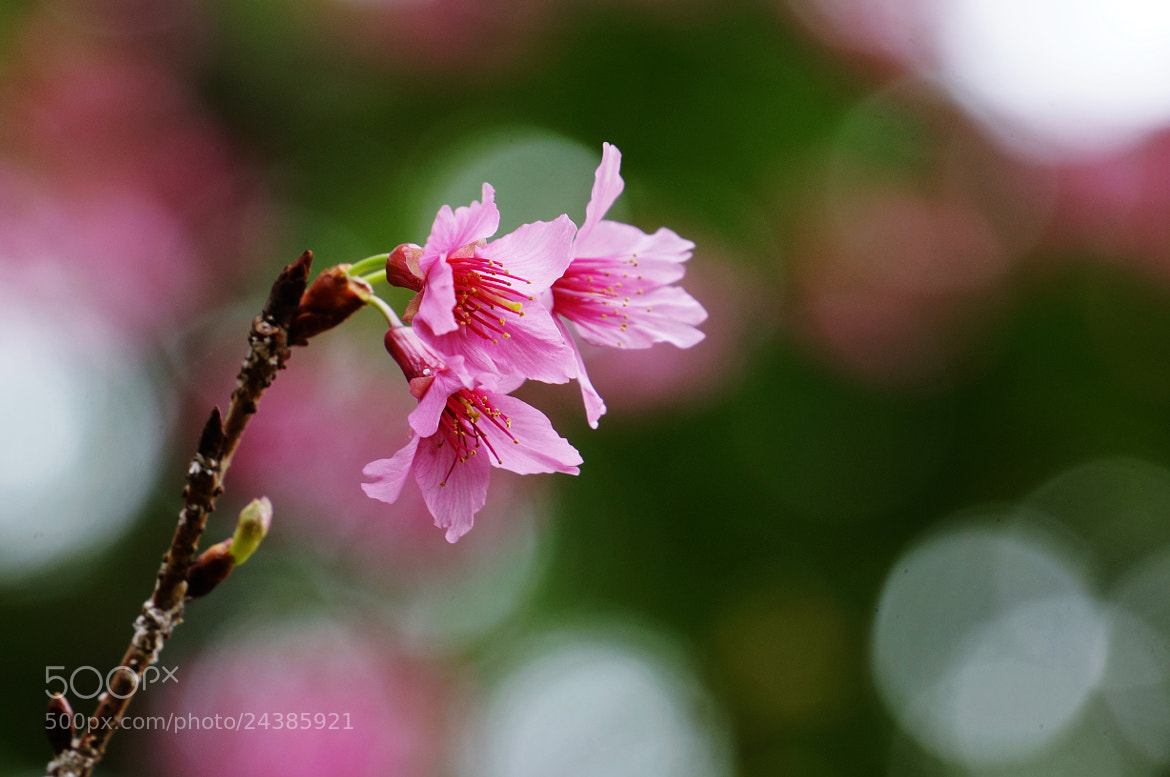 Photograph cherry blossom by liu han-lin on 500px
