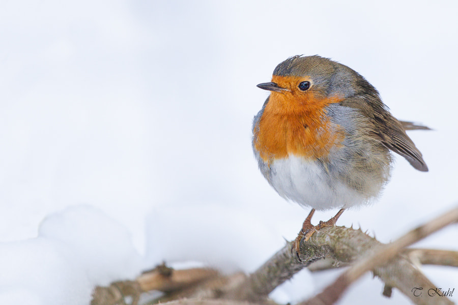 Photograph Robin by Tobias Kuhl on 500px
