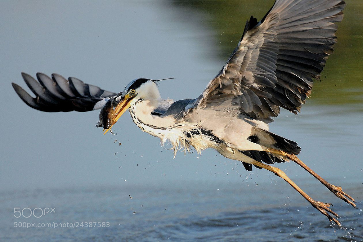 Photograph Common Heron (Ardea cinerea) by Alberto Mazzocchi on 500px
