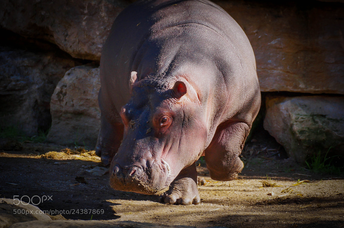 Photograph Hippo by Ralf Bessoth on 500px