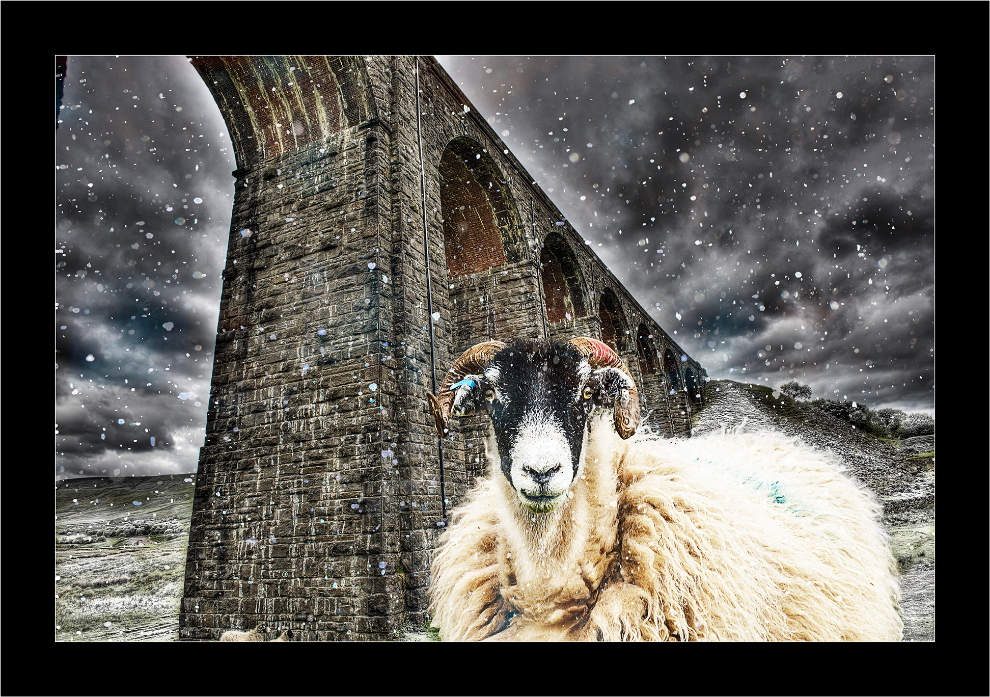 Photograph Snowy Sheep by Kevin Sharpe on 500px
