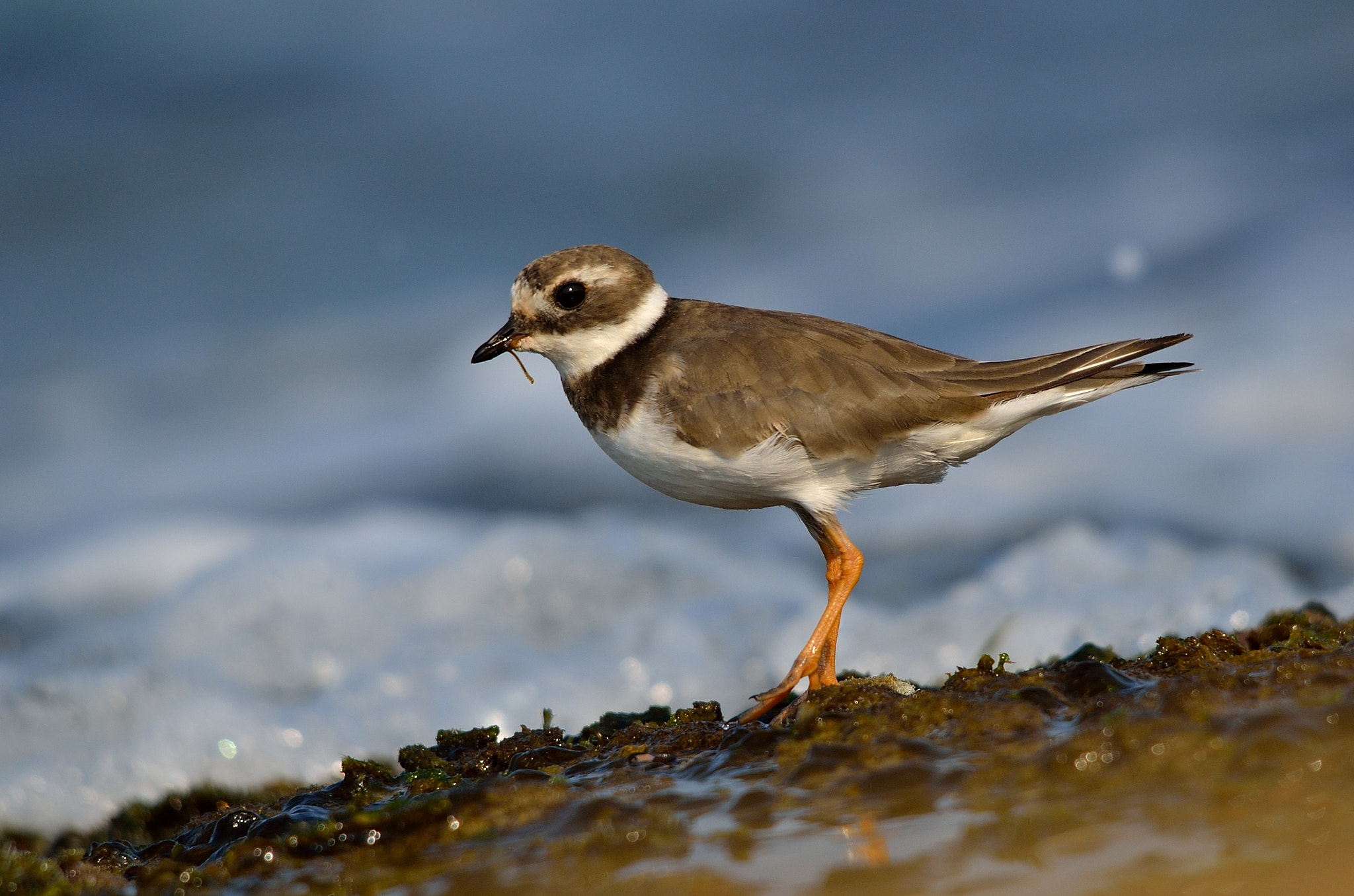 Photograph Common Ringed Plover (Charadrius hiaticula) by Daniel Berkowic on 500px