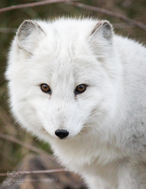 Photograph Arctic Fox by Marc Steensma on 500px