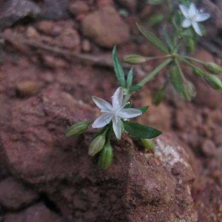 Little white flower, Canon POWERSHOT A580