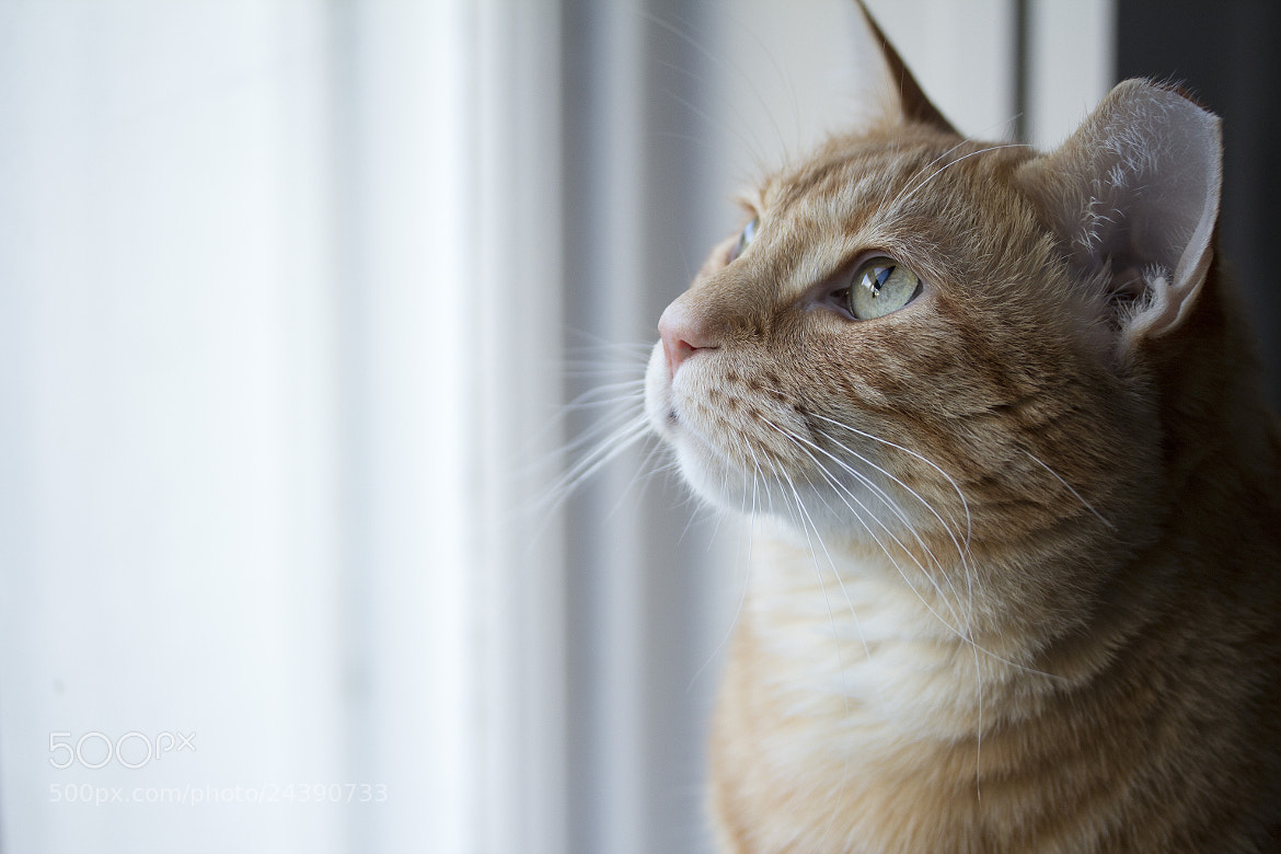 Photograph Cat in the Window by Amelie Belanger on 500px