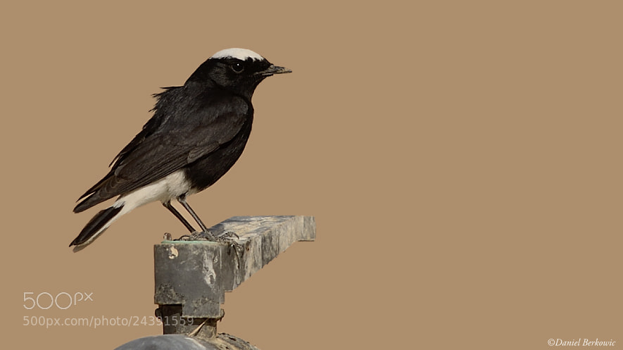 Photograph White-tailed Wheatear (Oenanthe leucopyga)  by Daniel Berkowic on 500px