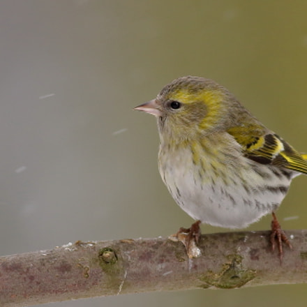 Eurasian Siskin in winter, Canon EOS 70D, Canon EF 400mm f/5.6L
