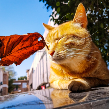 《嗅》猫儿趴在阳光遍撒的车顶,细嗅落叶。