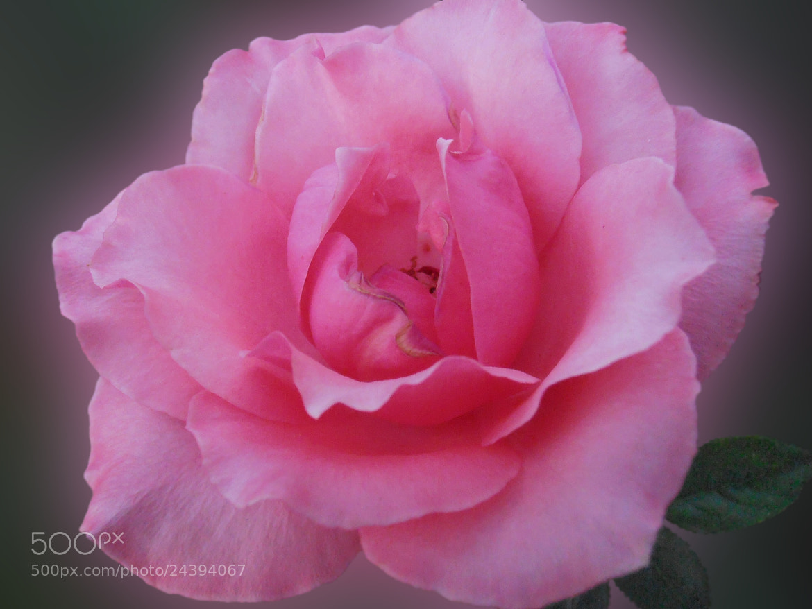 Photograph Soft rose by Snezana Petrovic on 500px