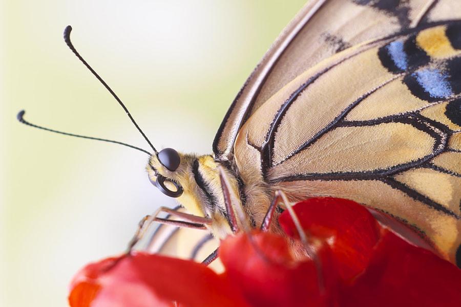Papilio machaon by Kazu Arai on 500px.com