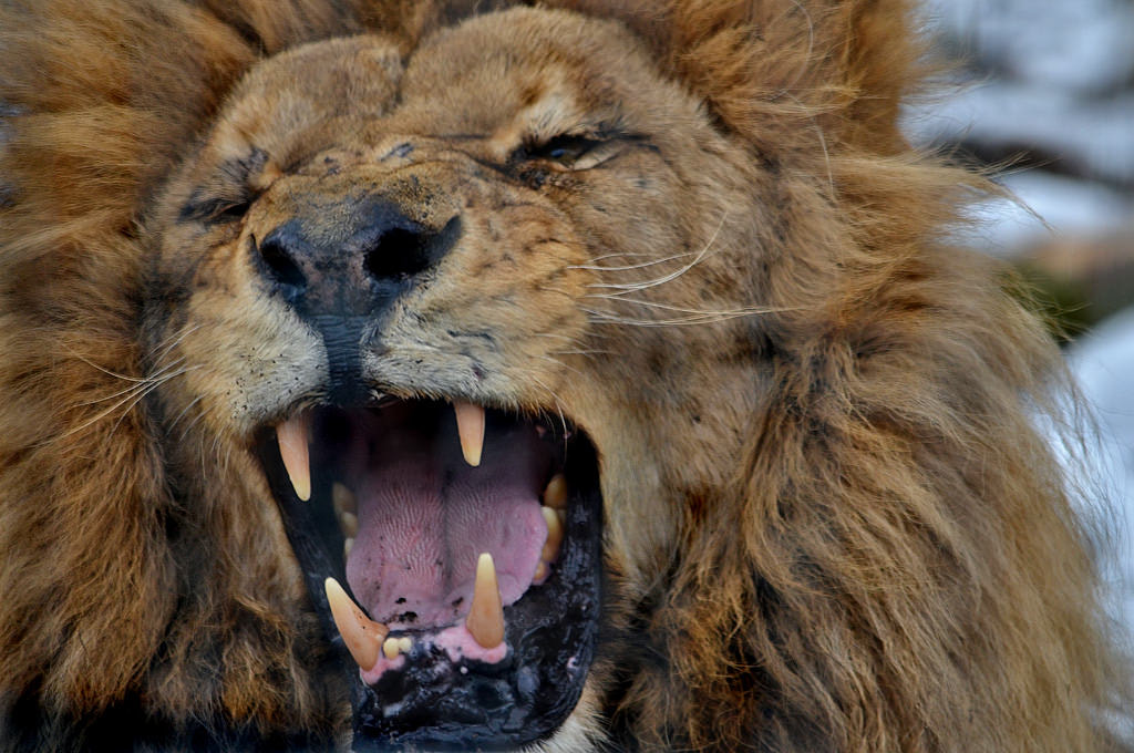 Photograph Roaring #2 by Michel L'HUILLIER on 500px
