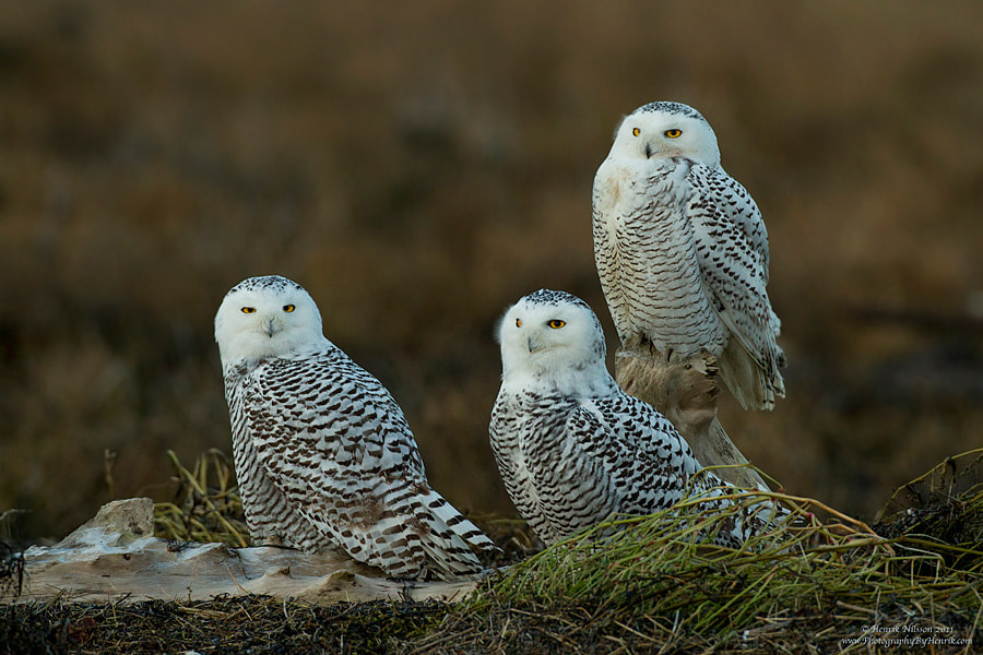 Photograph Three of a Kind by Henrik Nilsson on 500px