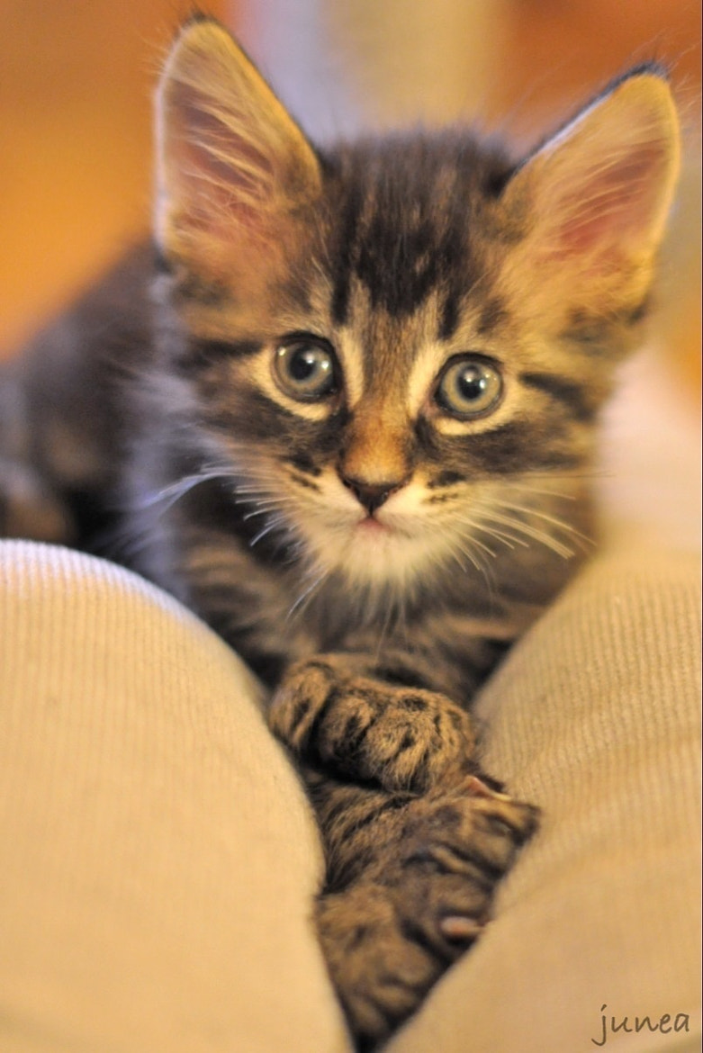 Photograph Kitten 6 week old by June A on 500px