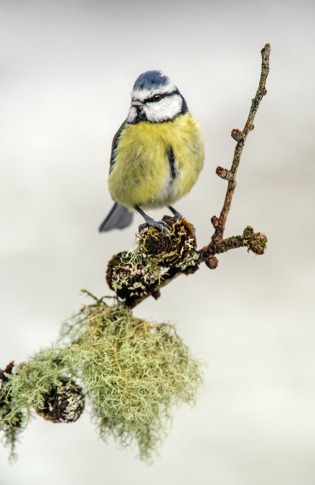 Photograph Blue Tit by Geoffrey Baker on 500px