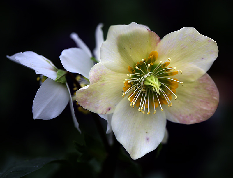 Photograph Lenten Rose by Janine Russell on 500px