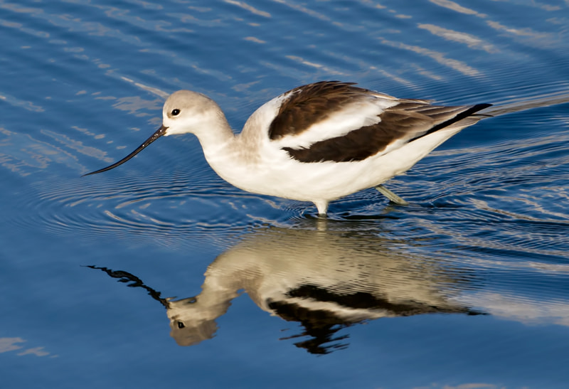 Photograph American Avocet by Jon Miller on 500px