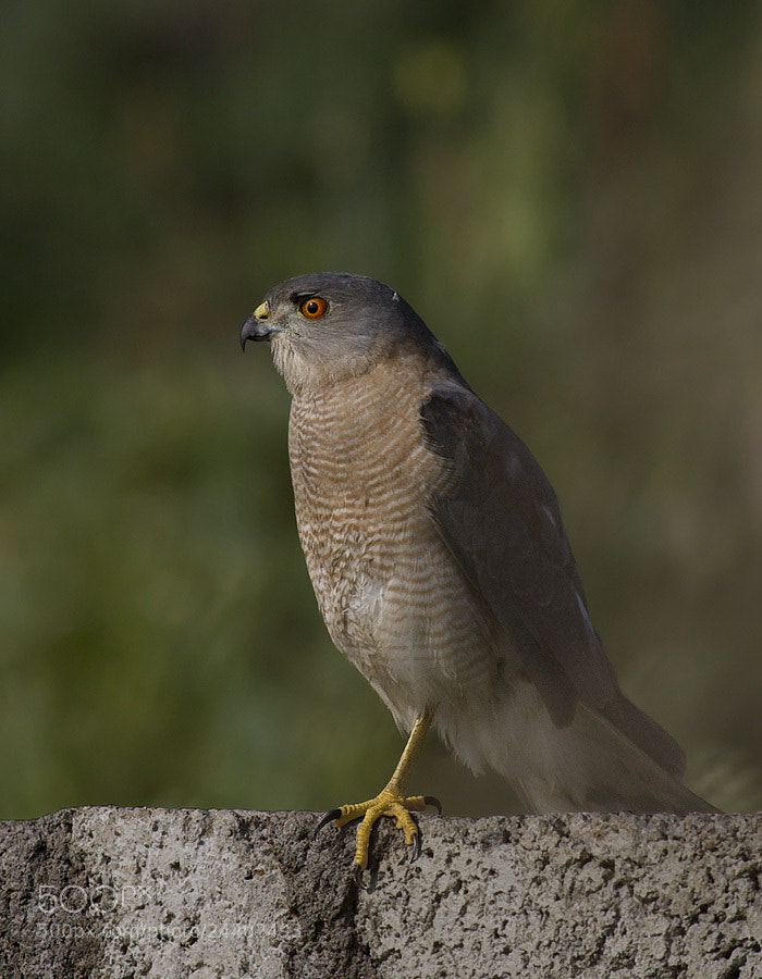 Photograph Sparrowhawk at my doorsteps by Pankaj Ratna on 500px