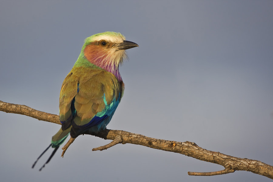 Africa's most photographed bird,this was taken in Kwando , Botswana, 5th July 2009