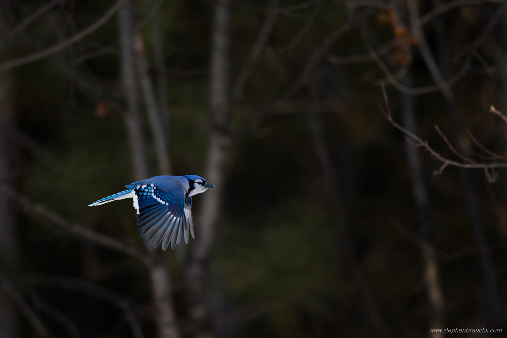 Photograph Blue Jay by Stephan Brauchli on 500px