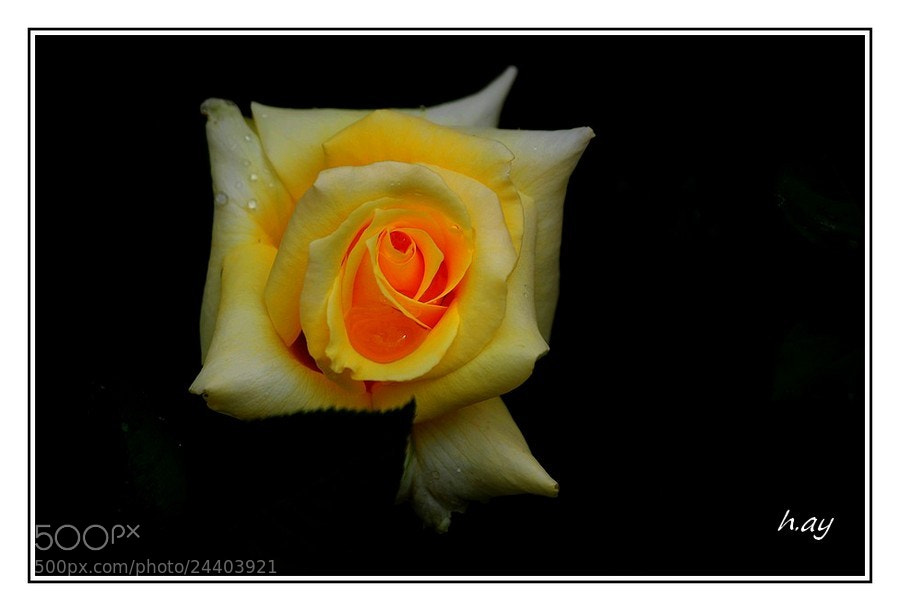 Photograph la rose jaune by HUSEYIN AY on 500px
