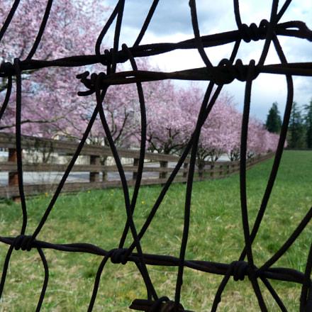 cherry blossom, Panasonic DMC-ZS6