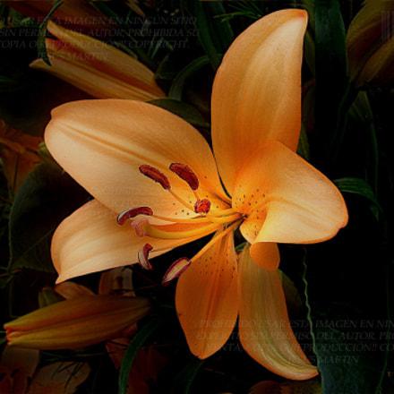 Lilium iluminada, Fujifilm FinePix J27 J28 J29