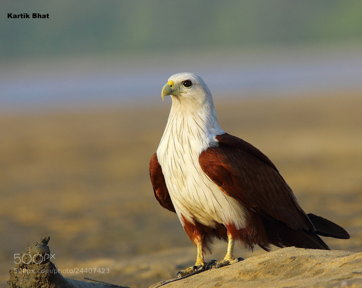 Photograph Brahminy Kite by Kartik Bhat on 500px