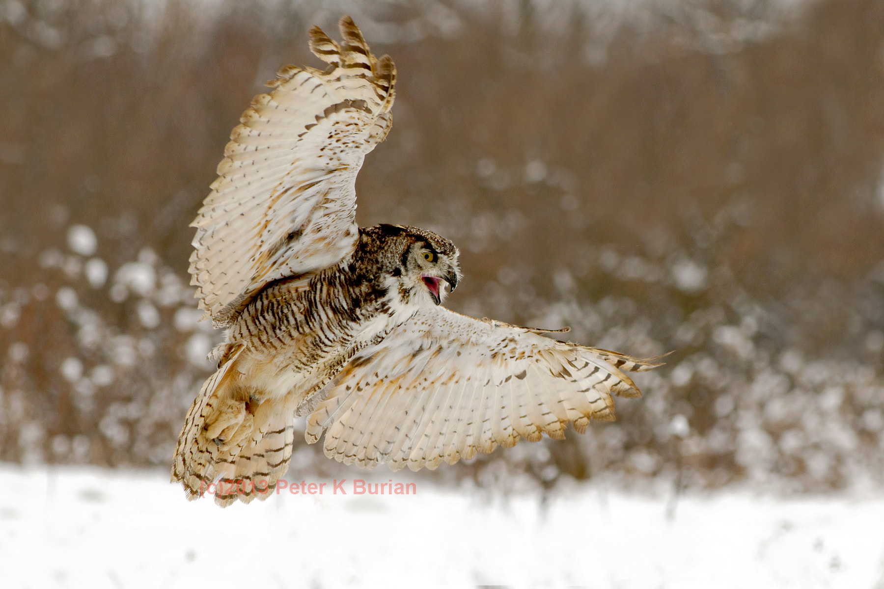 Photograph Owl in Flight 3 by Peter K Burian on 500px