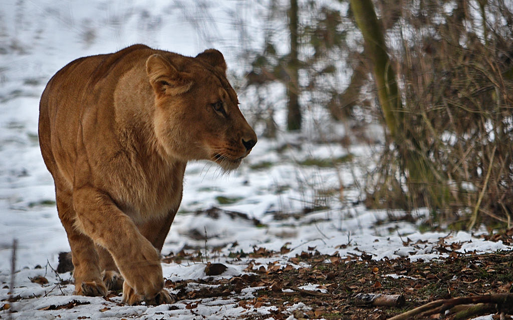 Photograph Lioness by Michel L'HUILLIER on 500px