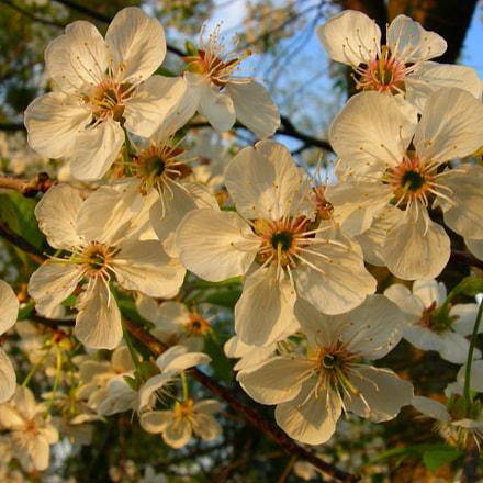 Flowering Cherry Tree, Nikon COOLPIX P2