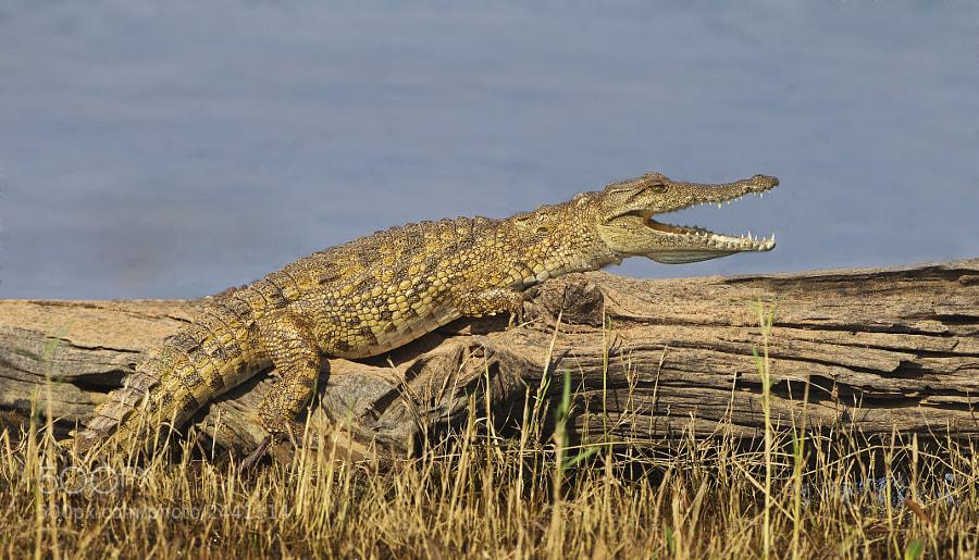 A Young Crocodile relaxes on the shores of Rhino Island, Matusadona National Park, Zimbabwe, 18th September 2011
